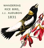 Wandering Rice Bird, J.J. Audubon