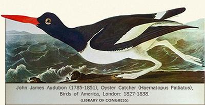 J.J. Audubon, Oyster Catcher