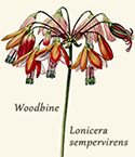 Woodbine, Honeysuckle
